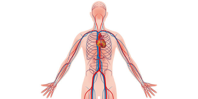 血液循環の模型