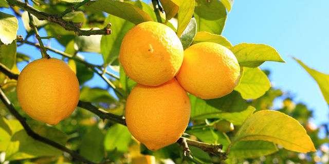 木になるレモン