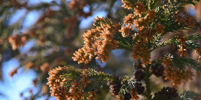 スギ花粉を撒き散らすスギの雄花