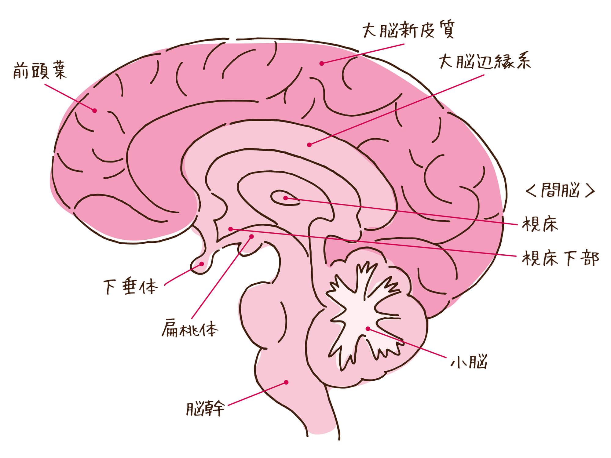 脳の構造と扁桃体