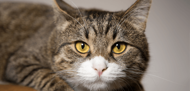 愛猫のサインを見逃さないで! 痒みをともなう【アレルギー性皮膚炎】について